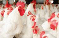 Gestion publique: L'UE exige une consultation avec l'Union douanière d'Afrique australe sur le commerce de volaille