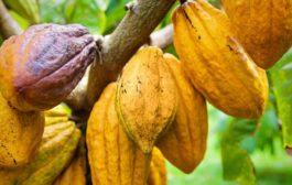 Cacao: Le Ghana et la Côte d'Ivoire arrêteront les ventes de cacao pour la saison 2020/2021