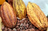 Cacao : Les cours mondiaux pourraient s'améliorer, d'ici la fin de l'année