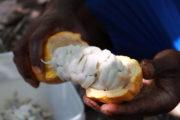 Cacao: La Côte d'Ivoire et le Ghana signent les premiers contrats entérinant le différentiel de revenu décent