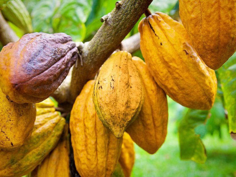 Matière première : La demande en cacao pourrait chuter en raison du différentiel de revenu décent