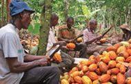 Campagne cacaoyère 2021 -2022 : Le prix garanti aux producteurs pourrait baisser
